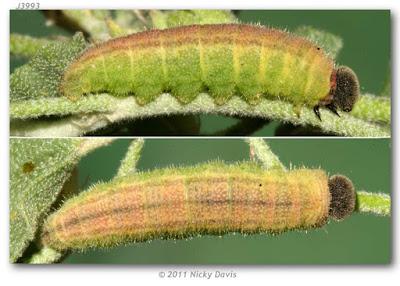oruga de mariposa cuadriculada comun