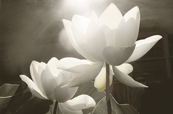 White Lotus Flower Flower Hd Wallpapers Images Pictures Tattoos