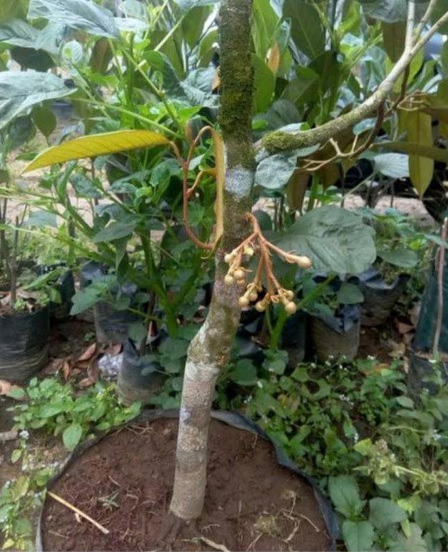 BIBIT DURIAN BAWOR BISA BERBUAH DALAM POT Sulawesi Tengah