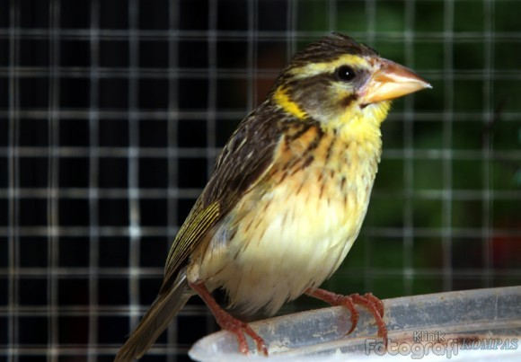 Suara burung manyar mp3 | burung manyar gacor untuk masteran youtube.