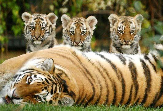 Les tigres 1301702341fic7VHP%255B1%255D