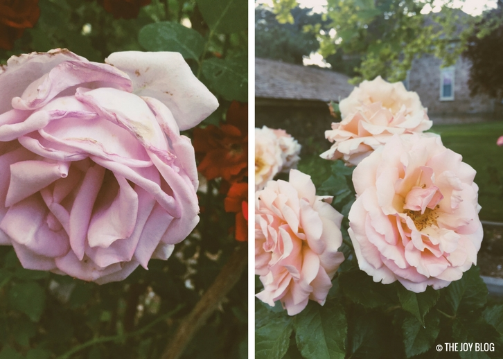 Roses // www.thejoyblog.net