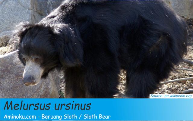 Fakta unik beruang sloth