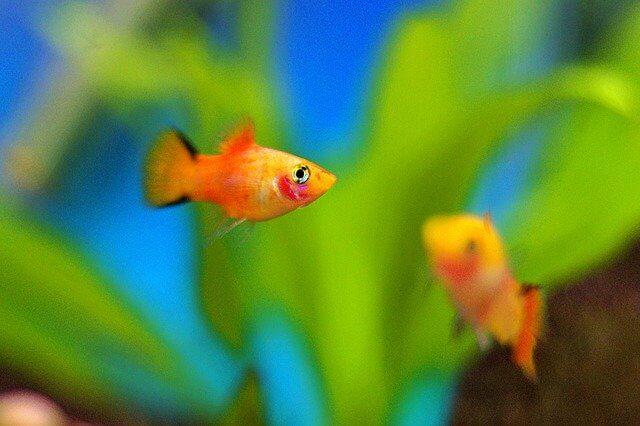 Harga Ikan Platy Terbaru Sesuai Jenisnya