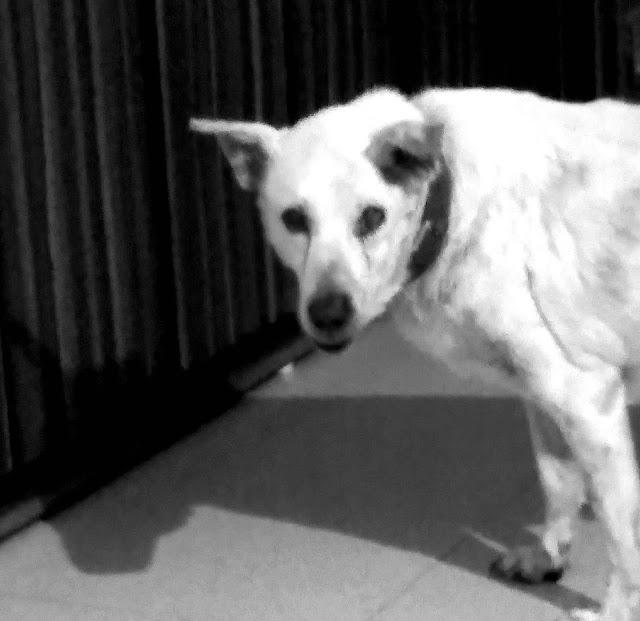 bozo, dog, shadow, pet,