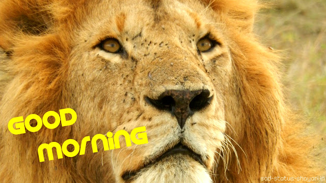 good morning lion images