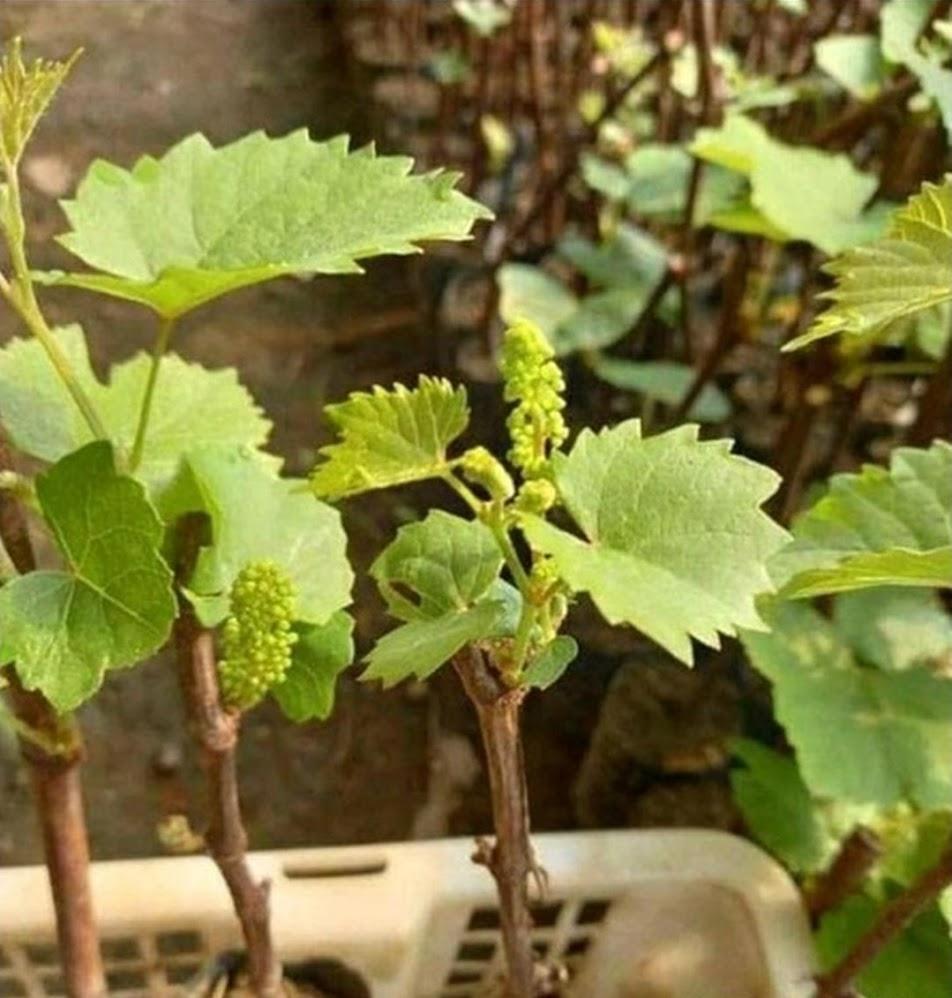 bibit anggur berbuna Pariaman