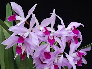 A produção de híbridos artificiais de orquídeas vem ocorrendo há mais de um século. Estima-se que sejam hoje mais de cem mil híbridos. A Royal Horticultural Society é responsável pelo registro oficial de híbridos, no entanto, a produção doméstica e por pequenos produtores locais é bastante grande e só pequena parte destes híbridos caseiros é registrada, de modo que o número total de híbridos já produzidos pelo homem permanecerá sempre apenas uma suposição.