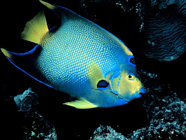 Diva Dogs and Funky Felines: Angelfish for Beginners