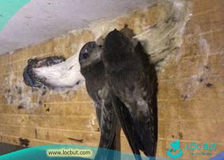 Tại sao nhà yến bị mất chim nhiều.