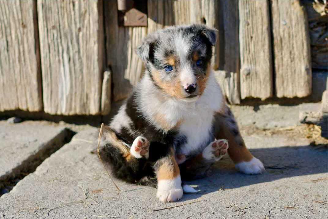 bergers australiens miniatures, berger australien Toy, berger australien chiot, aussies, race de chien, animaux de compagnie, animaux domestiques, chien de compagnie, chien de chasse, chien de garde,