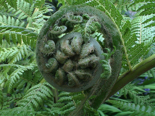 tree fern new frond