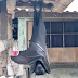 Life-size bat from the Philippines breaks the internet anew