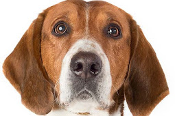 Anjing Foxhound