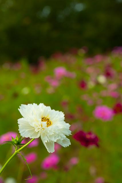 白い八重咲きコスモス