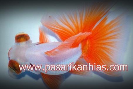 Ikan hias Mas Koki Butterfly Tail