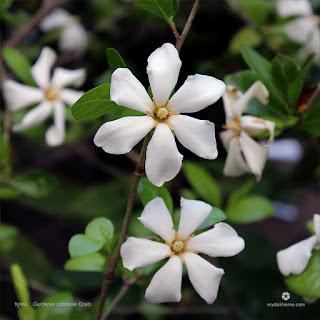 พุดผา (พุดสีดาดง) ดอกพุดพื้นเมืองของไทย ดอกสีขาวบานสะพรั่ง กลิ่นหอมแรง