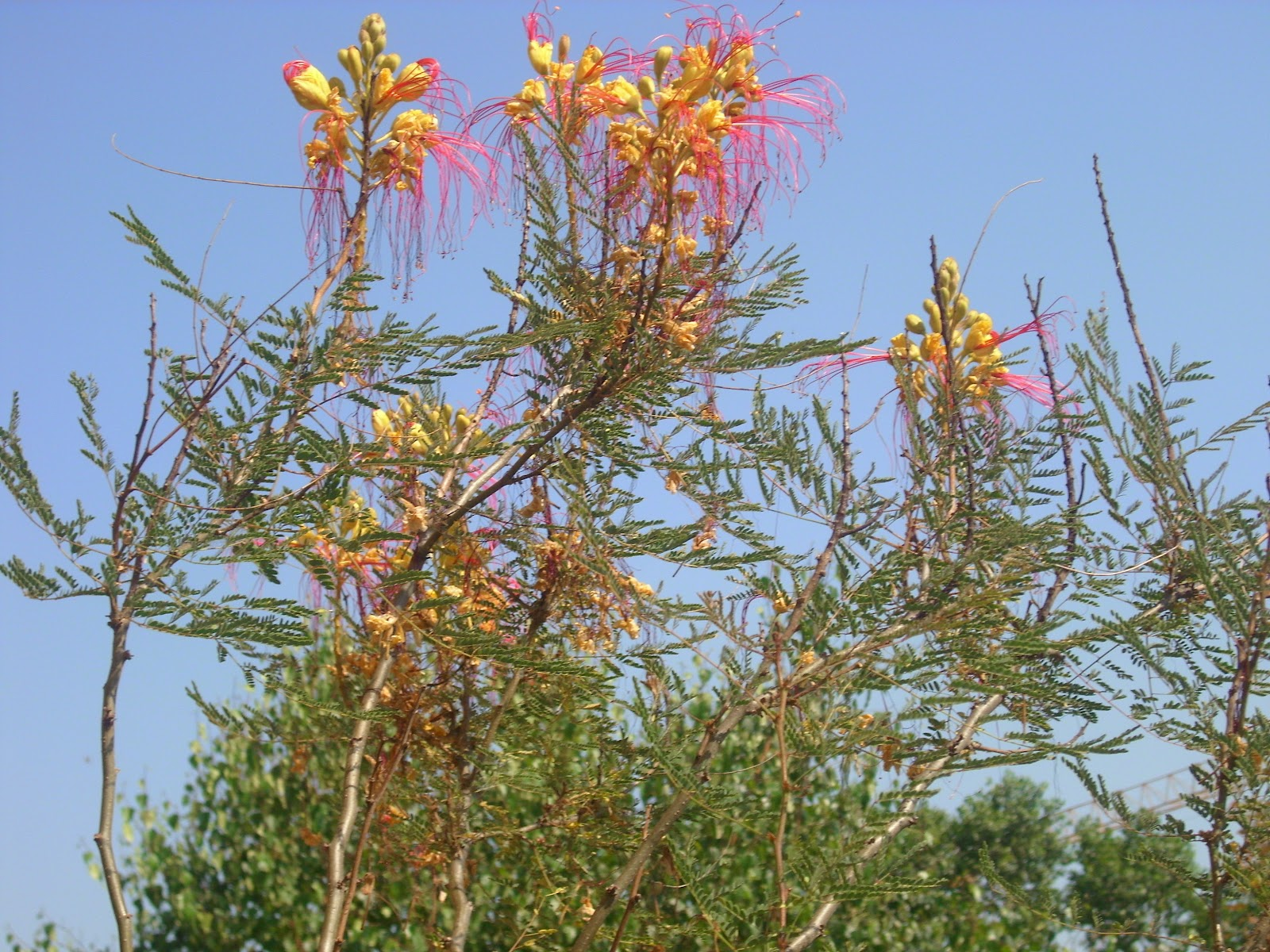Fiori Gialli Con Pistilli Rossi.Arbustum Monsleonis Un Bellissimo E Singolare Arbusto Estivo La