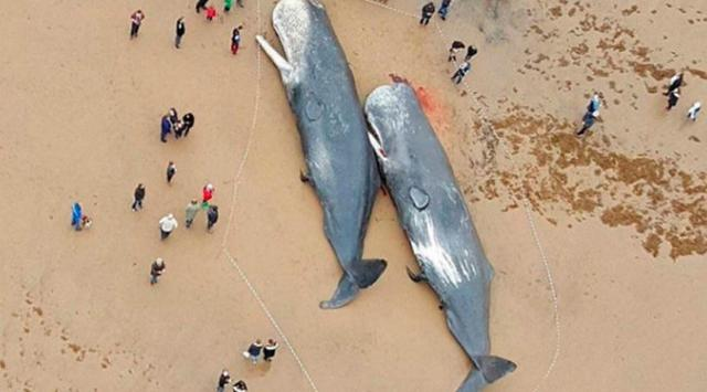 HEBOH..!! Ikan Paus Sperma Terdapar di Pantai Usai Telan Limbah Manusia