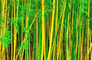 mitos bambu kuning - kanalmu