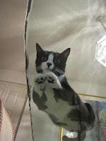 Fotos divertidas de gatos en mesas de vidrio