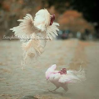 Rahasia menang adu ayam di gelanggang atau arena sabung