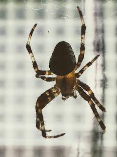 Spider On Window Pane
