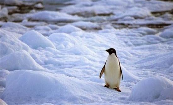 Πώς αντέχουν το πολικό ψύχος οι πιγκουίνοι;