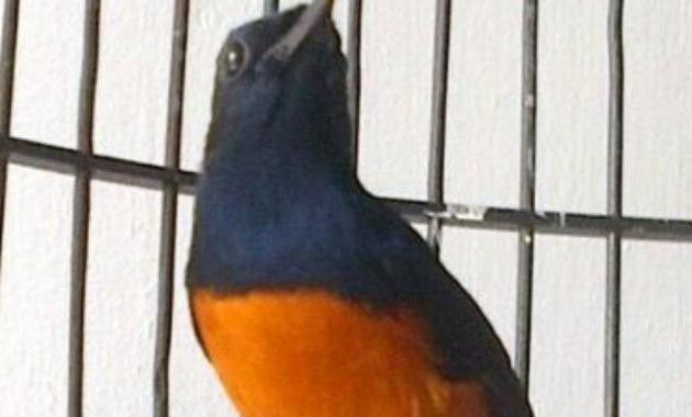 Rahasia Saya Melatih Burung Hingga Berkicau Dengan Cepat Rahasia Saya Melatih Burung Hingga Berkicau Dengan Cepat