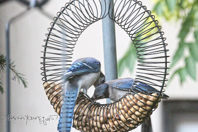 "The focus of this photo is of a two blue jays who are perched within a bird feeder which is made of coils and shaped like a wreath.This feeder has the function of ""holding"" peanuts within a shell. The jay on the right is attempting to take a peanut from the feeder while the one on the right watches him. This ""scene"" occurred in my garden, which is the setting for my book series, ""Words In Our Beak."" Info re these books is included in another post within this blog @ https://www.thelastleafgardener.com/2018/10/one-sheet-book-series-info.html"