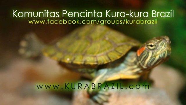 KuraBrazil.com, Situs Kura-kura Brazil