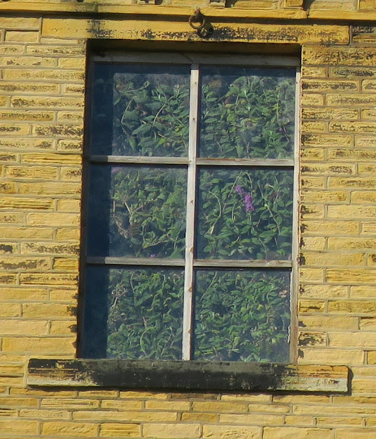 Flowering buddleia trapped behind window at top of Pellon Lane Mill in Halifax.