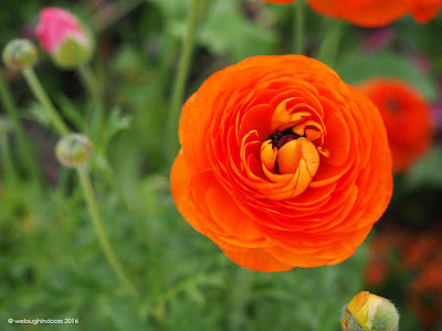 Orange ranunculus by welaughindoors