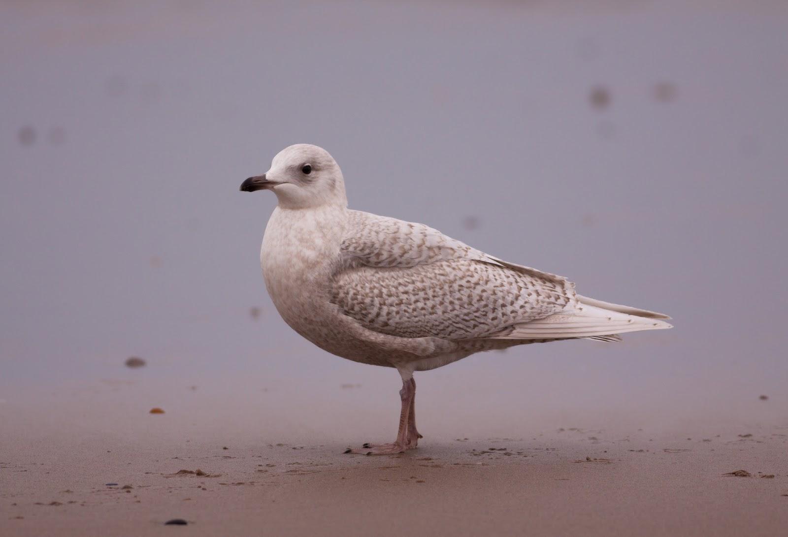 Iceland Gull - Pensarn, North Wales