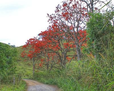 arvores-mulungu-florido-na-paisagem