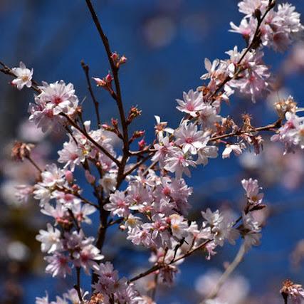 冬桜と紅葉ーその1……城峯公園
