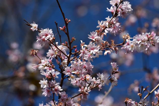 奇麗に咲いた城峰公園の冬桜