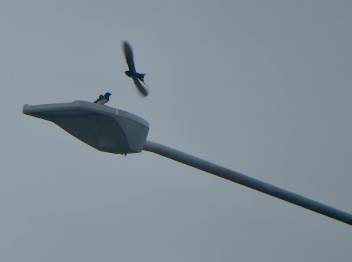 The male flew off south, followed shortly afterwards, by the second bird.