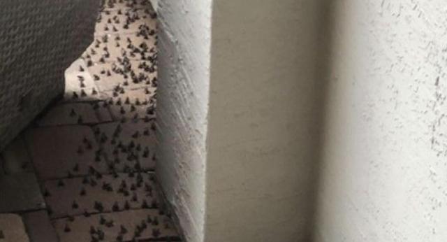 Plaga de sapos venenosos invade Florida