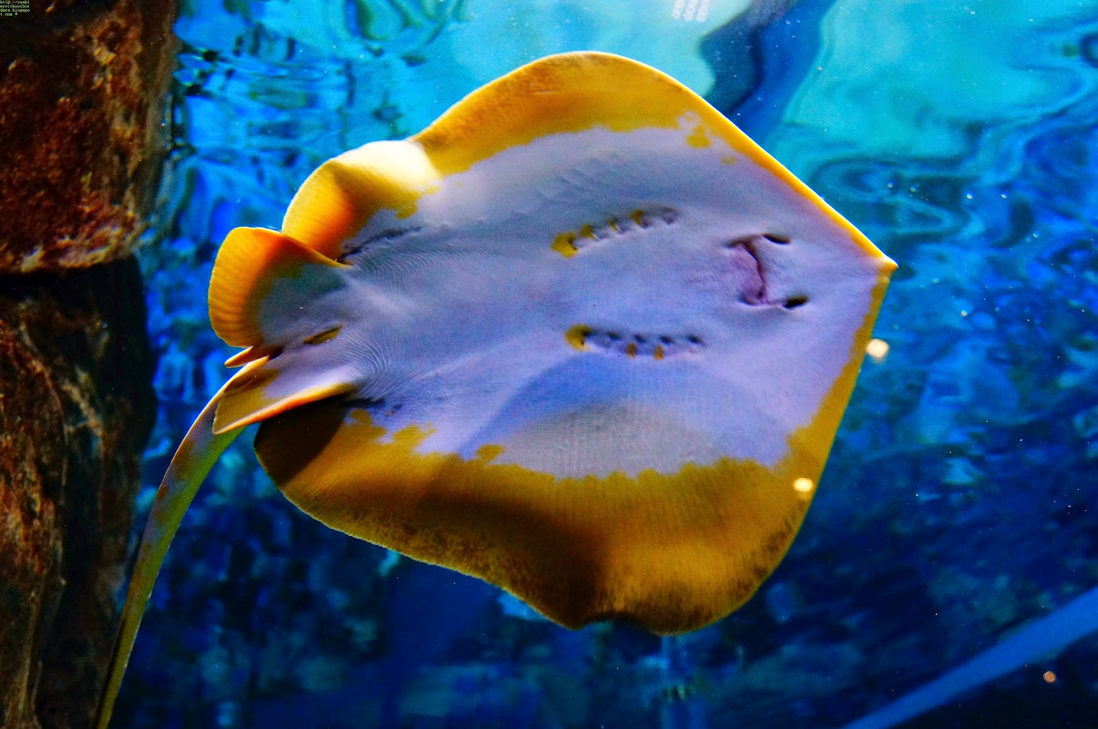 Stingray, S.E.A. Aquarium, Sentosa, Singapore