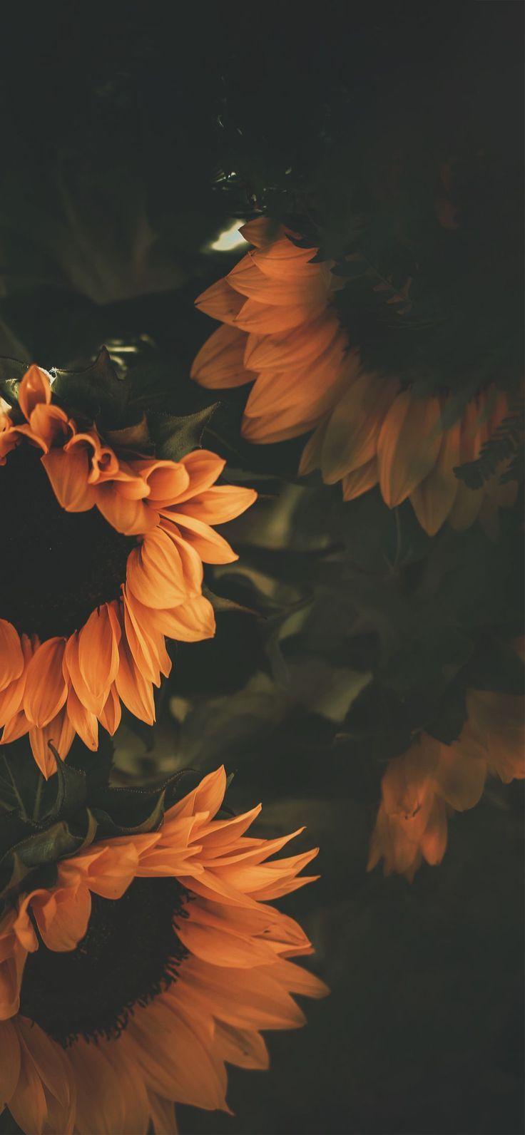 wallpaper iphone xs, girasoli, fiori