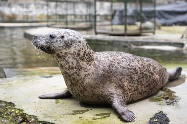 Borjúfókákat adományozott a palicsi állatkertnek a Nyíregyházi Állatpark