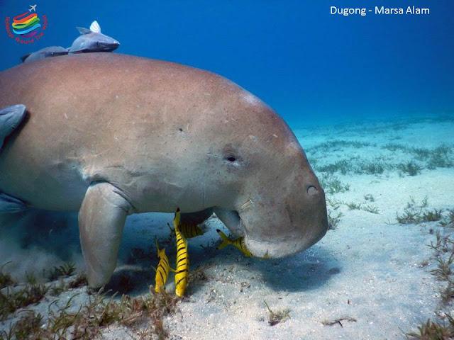 Dugong - Marsa Alam