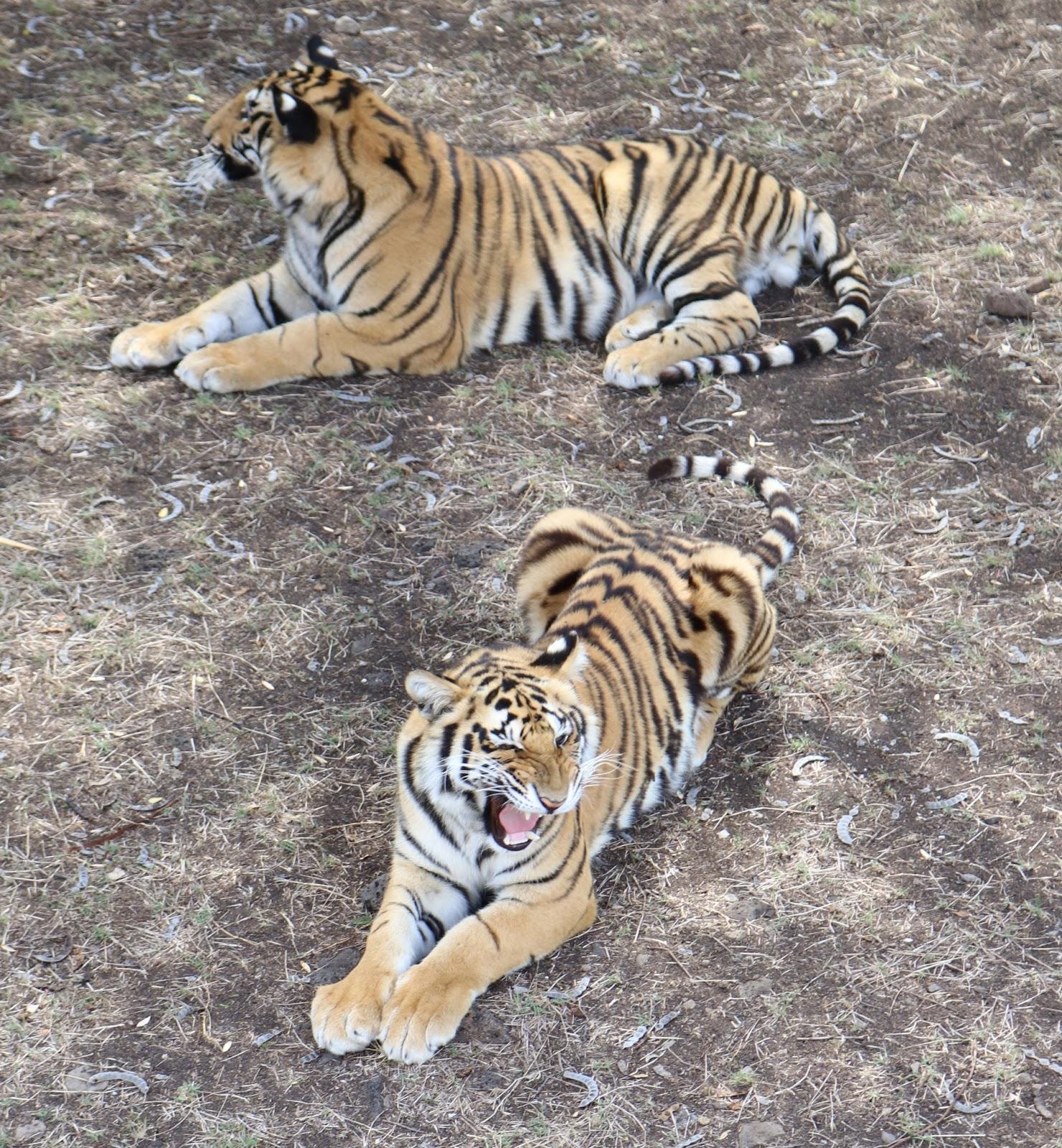 Casela Tiger