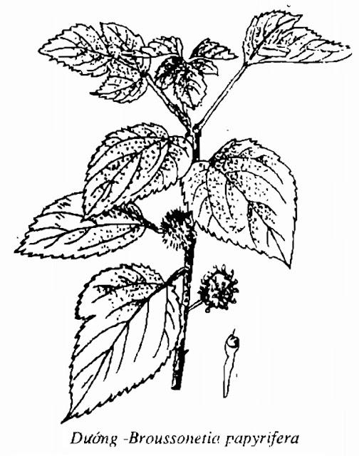 Hình vẽ cây Dướng - Broussonetia papyrifera - Nguyên liệu làm thuốc Chữa Cảm Sốt