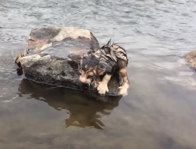Маленького котенка бросили в воду, но он выжил, забрался на камень, и звал на помощь