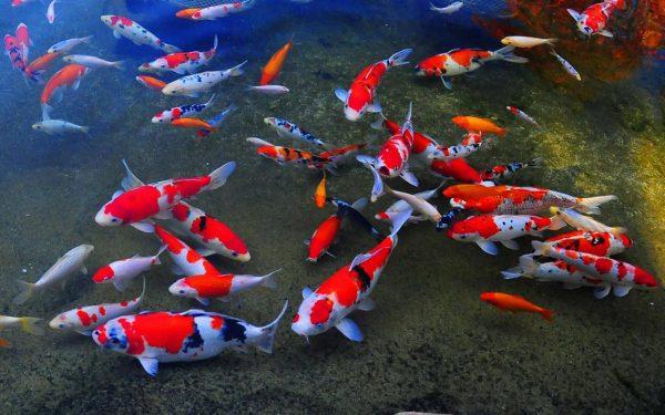Agar Ekosistem Kolam Koi Tetap Sehat, Ini 5 Komponen yang Harus Ada