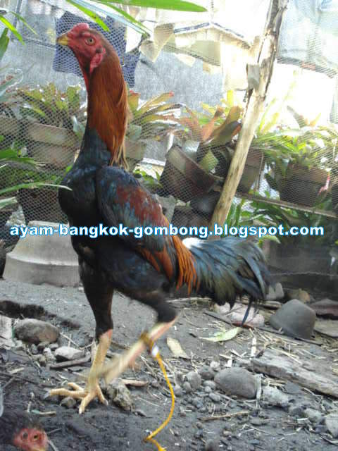 Cara Menghilangkan Penyakit Bubul Pada Kaki Ayam Ayam