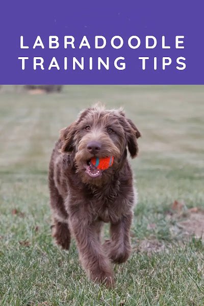 LABRADOODLE-TRAINING-TIPS