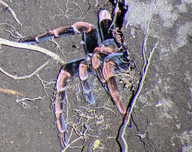 Costa Rica Wildlife: Orange-kneed Tarantula